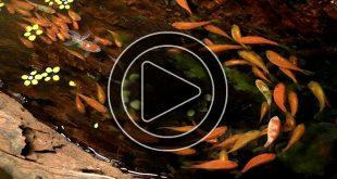 Video - Tranh 3D hồ cá Koi 1,1 tỷ cho nhà biệt thự đẹp